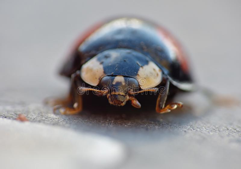Coccinelle de harlequin La coccinelle d'envahisseur de Caped/Ladybird - image photos stock