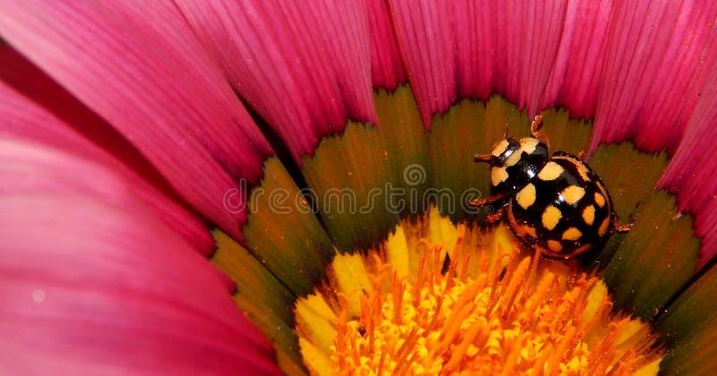Coccinelle jaune et noire sur la fleur rose images libres de droits