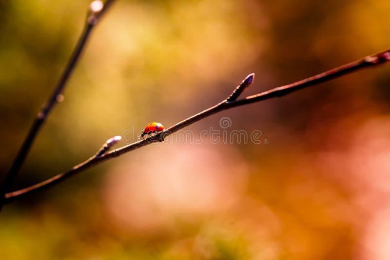Coccinelle marchant sur la branche d'arbre de ressort photographie stock
