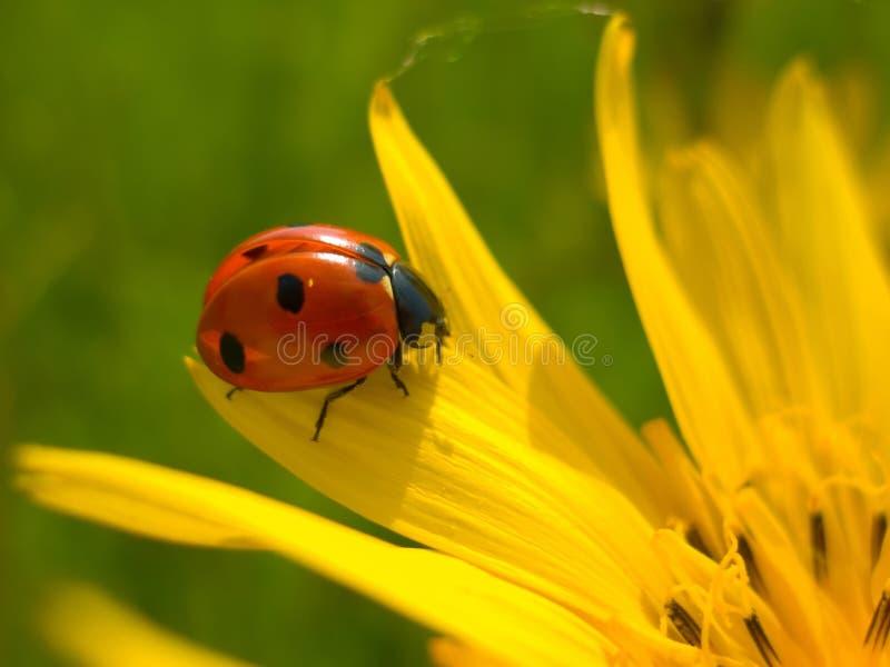 Coccinelle rouge sur la fleur jaune photographie stock