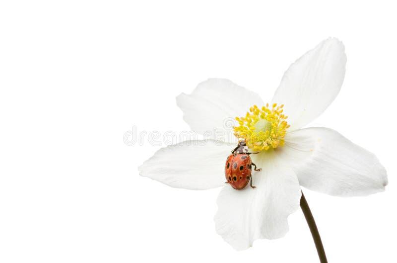 Coccinelle sur la fleur images libres de droits