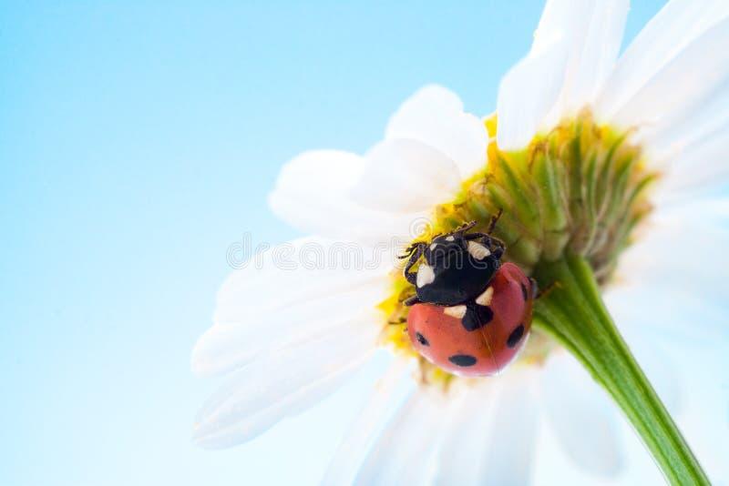 Coccinelle sur la fleur photos stock