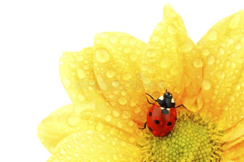 Coccinelle sur la fleur jaune photographie stock libre de droits