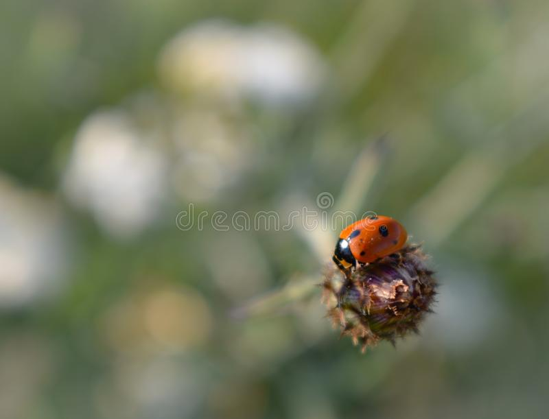 Coccinelle sur la fleur, nature Backgroud photographie stock libre de droits