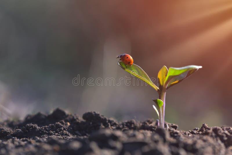 Coccinelle sur la jeune usine s'élevant dans le jardin avec la lumière du soleil Concept de jour de terre image stock