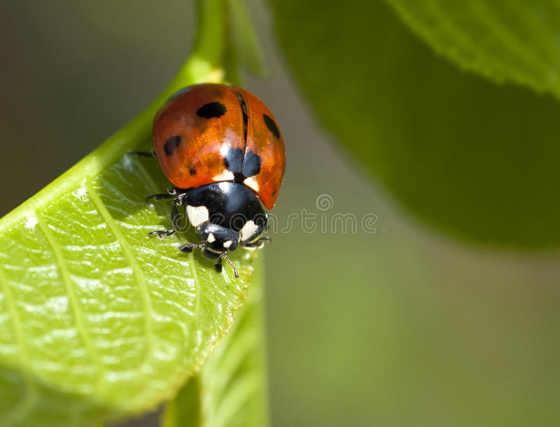 Coccinelle sur la lame images stock