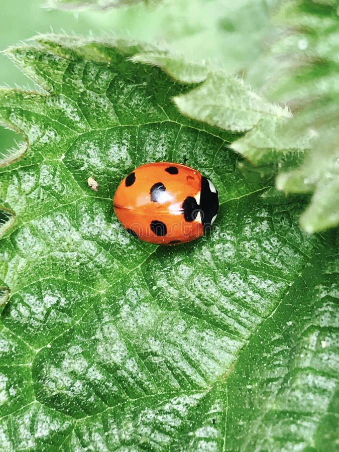 Coccinelle sur la lame verte photo libre de droits