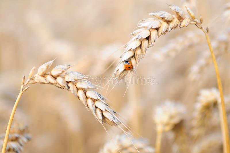 Coccinelle sur le blé images libres de droits