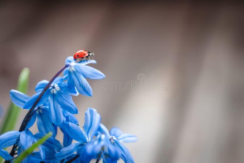 Coccinelle sur une fleur bleue photo stock