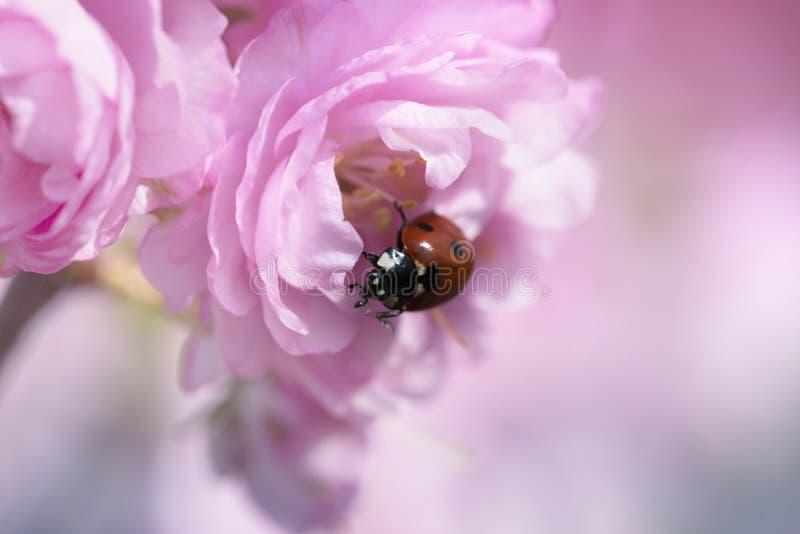 Coccinelle sur une fleur rose de ressort photo stock