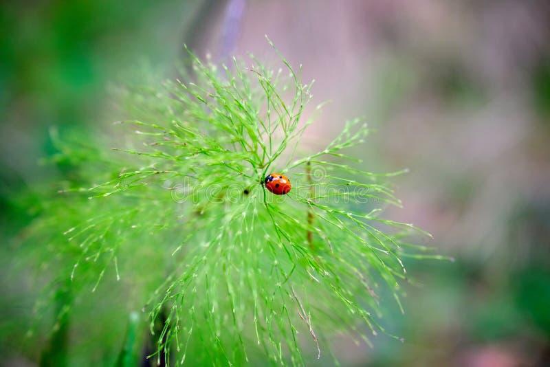 Coccinelle sur une plante verte image stock