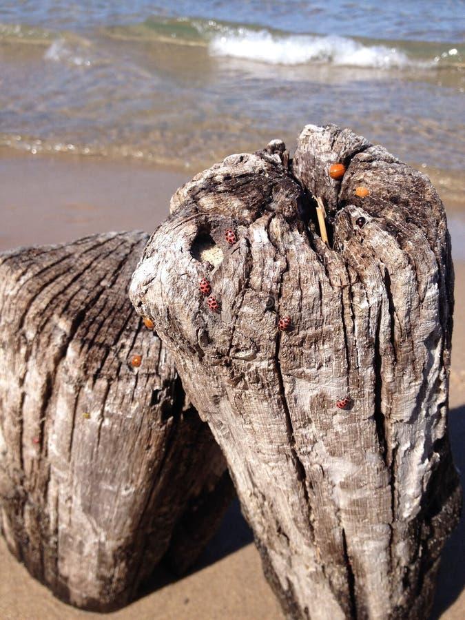 Coccinelles par le lac Michigan images stock