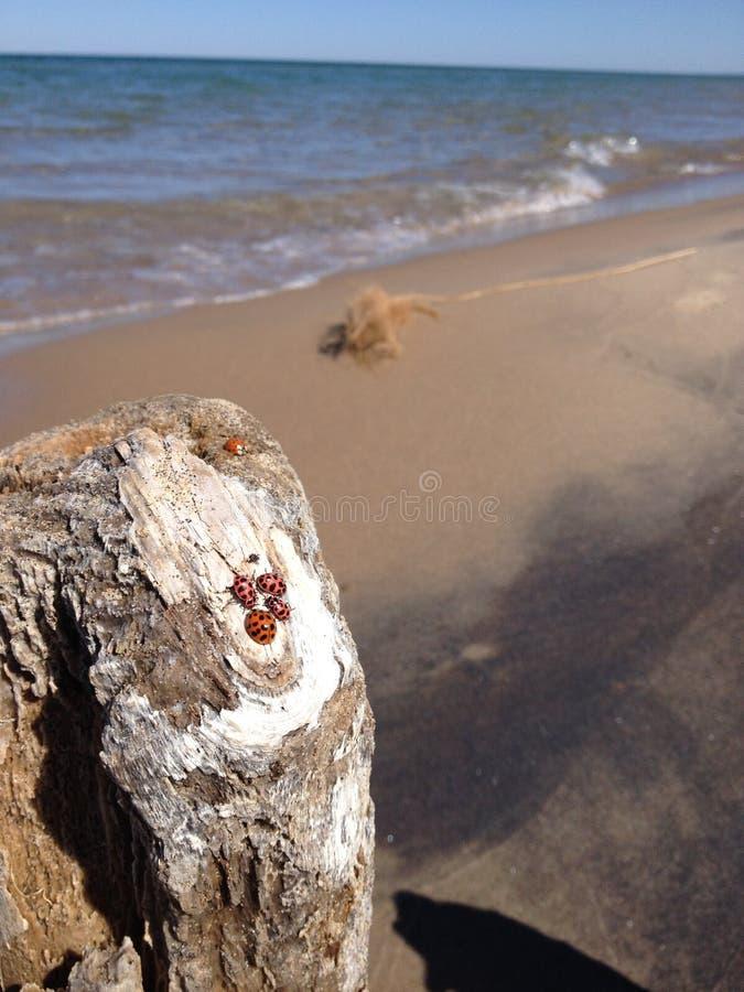 Coccinelles par le lac Michigan image libre de droits