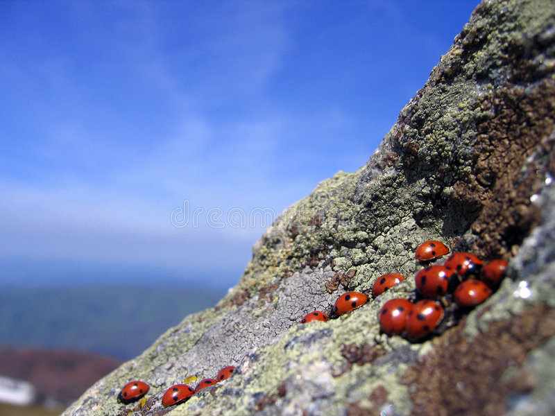 Coccinelles se réunissant sur de hautes falaises images stock