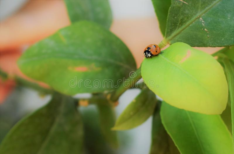 Beautiful Ladybird on a leaf. Coccinellidae /ˌkɒksɪˈnɛlɪdiː/[3] is a widespread family of small beetles ranging in size from 0.8 to 18 mm royalty free stock images