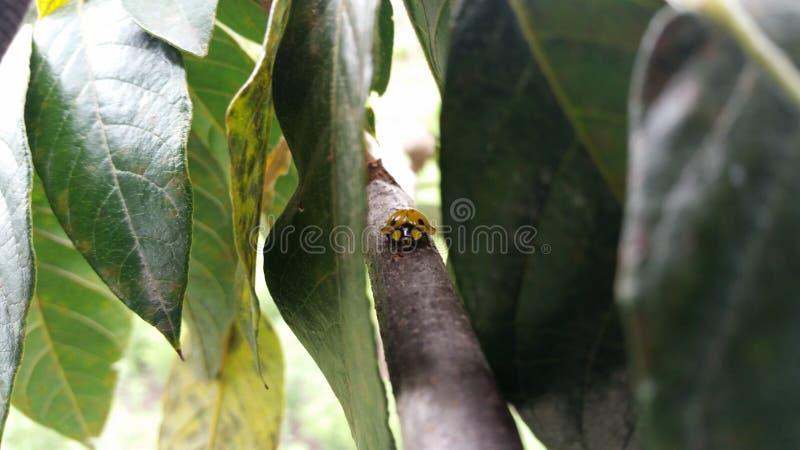 Coccinellidae beter - als lieveheersbeestje wordt bekend dat stock foto