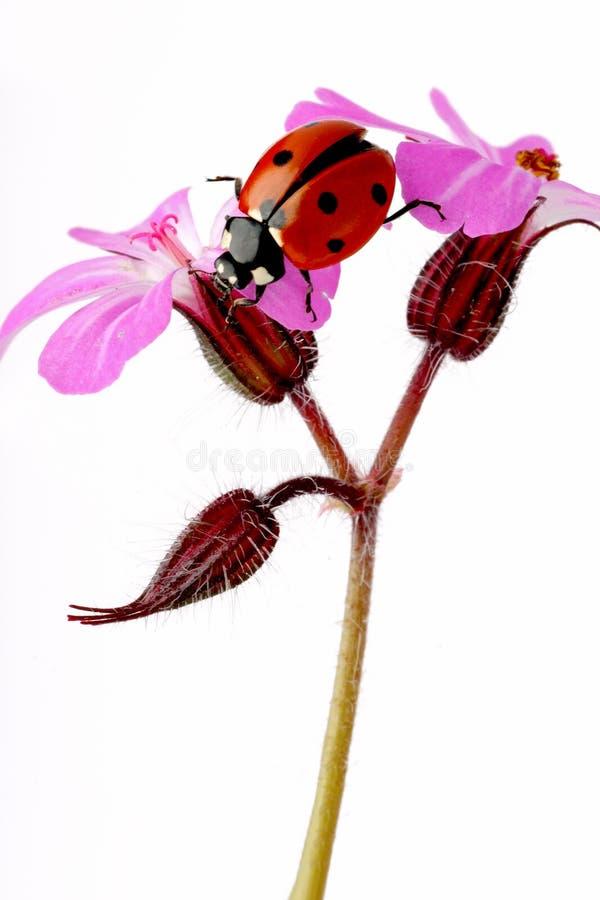 coccinellidae ladybird zdjęcia royalty free