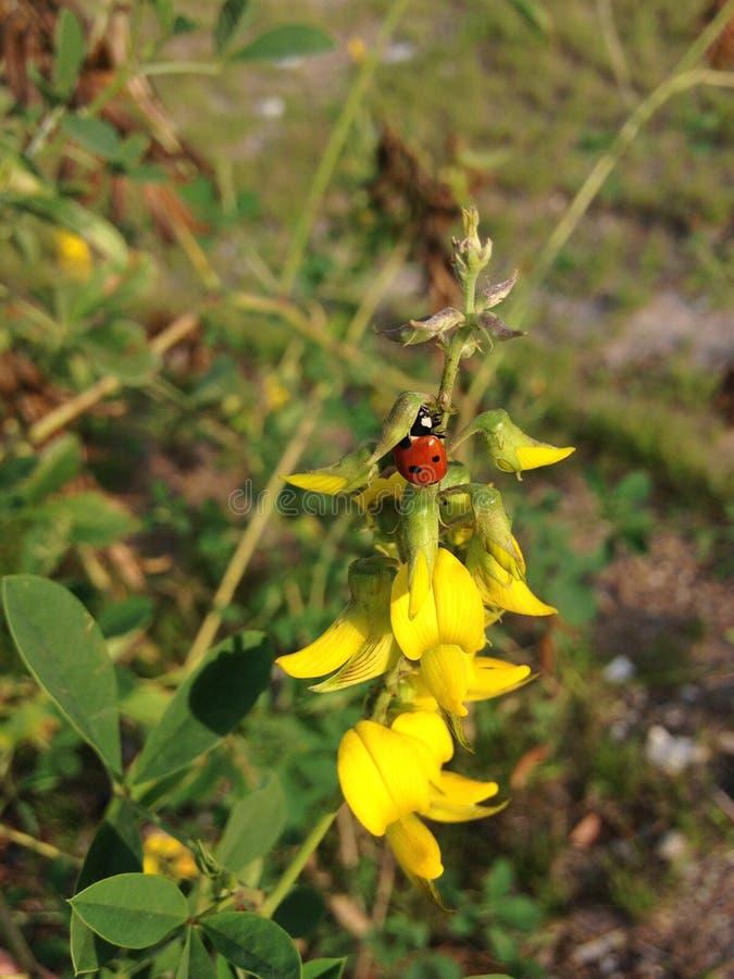 Coccinellidae (Marienkäfer) auf Crotalaria-Anlage mit Seedpods, das im Frühjahr im Garten blüht stockfotografie