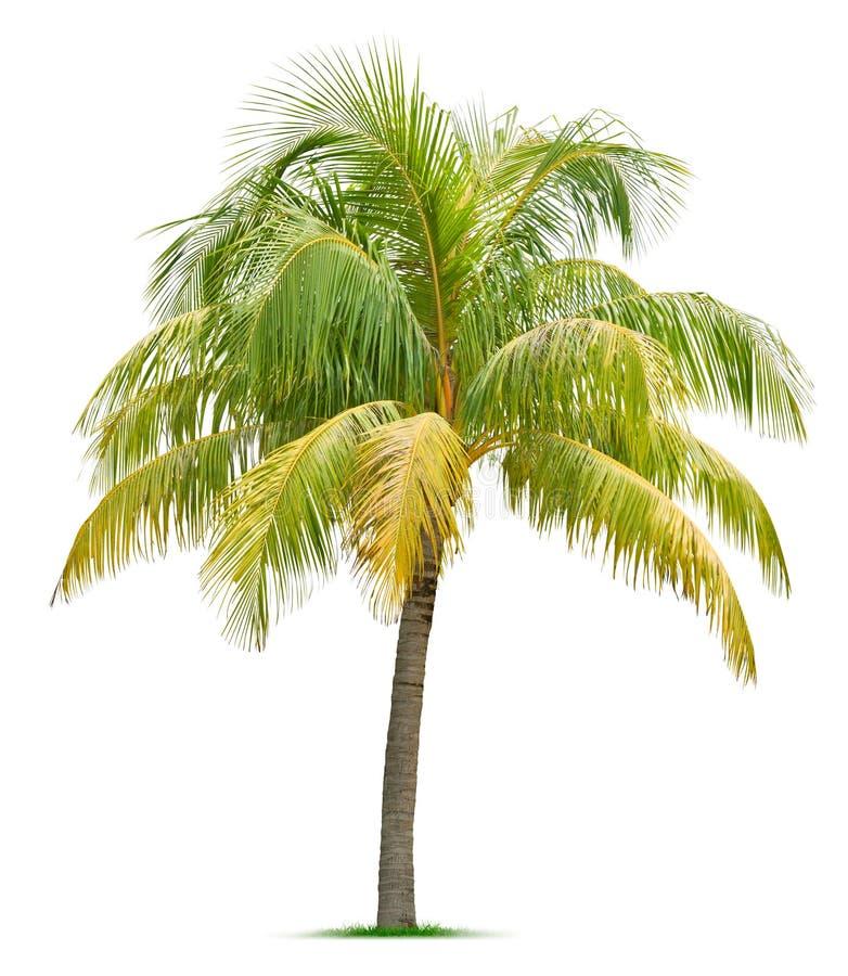 Cocco fotografia stock immagine di palma nave pianta for Pianta di cocco