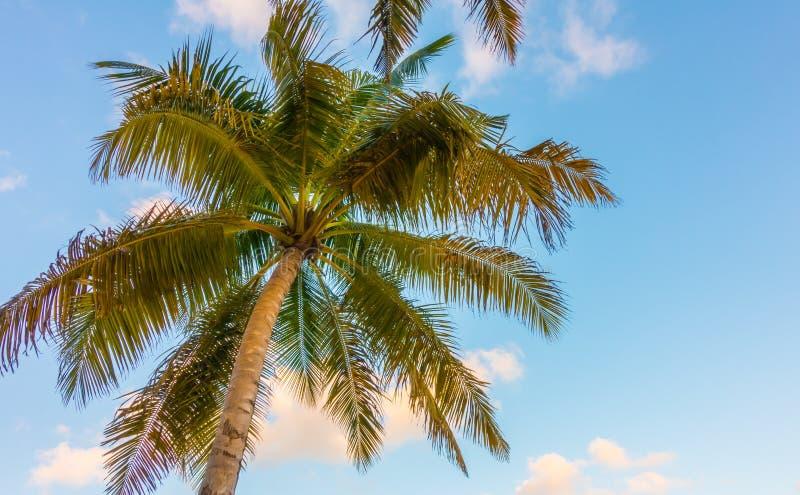 Cocco sopra cielo blu fotografie stock libere da diritti