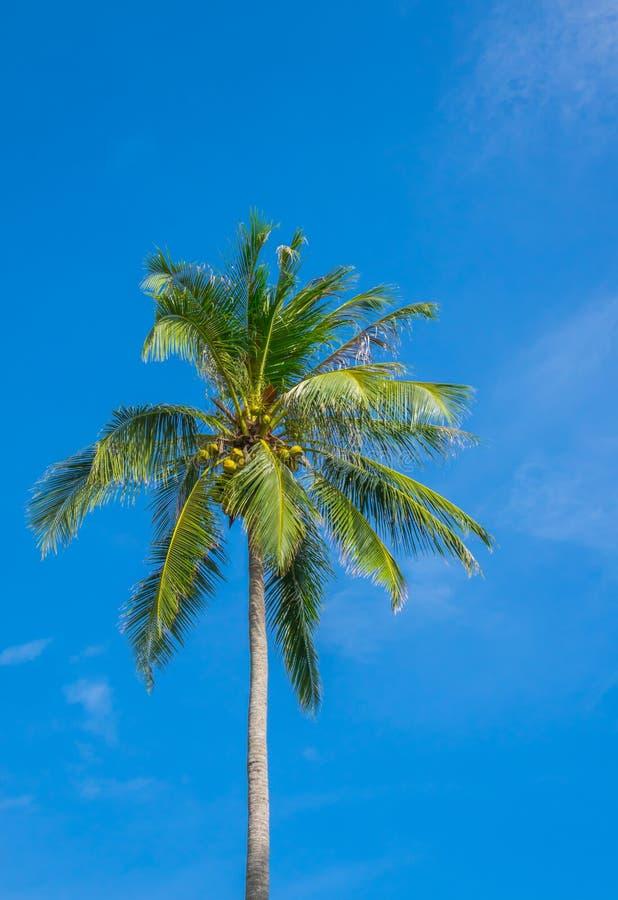 Cocco sopra cielo blu fotografia stock