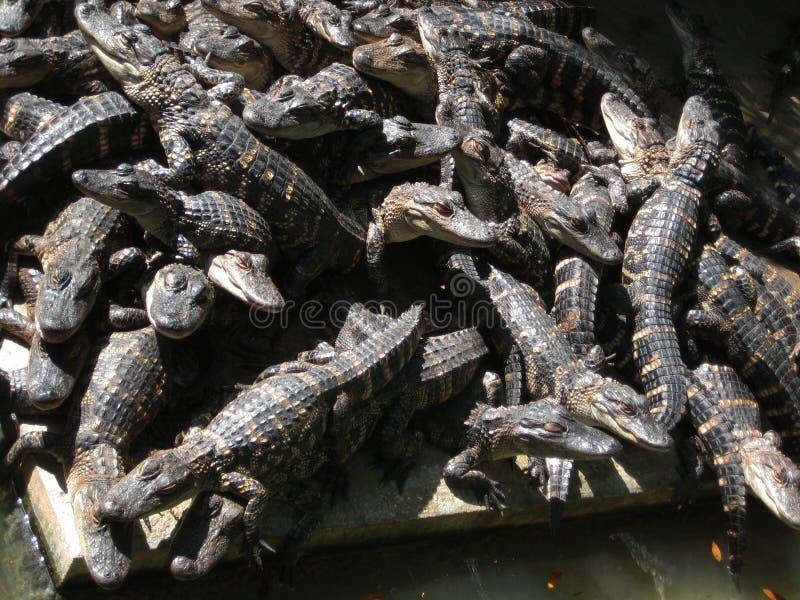 coccodrilli immagine stock