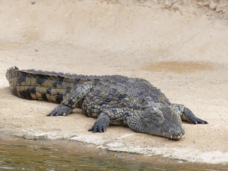 Coccodrilli del Nilo immagine stock libera da diritti