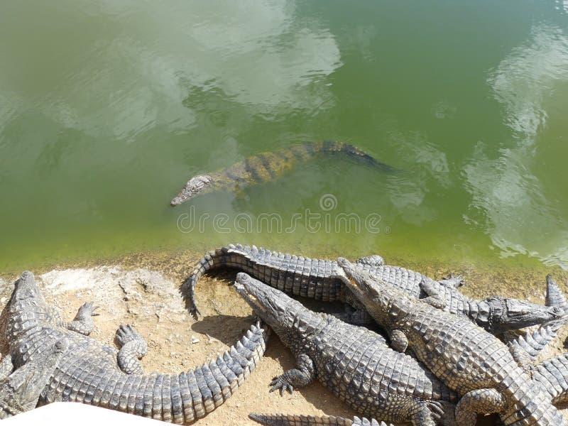 Coccodrilli del Nilo fotografia stock