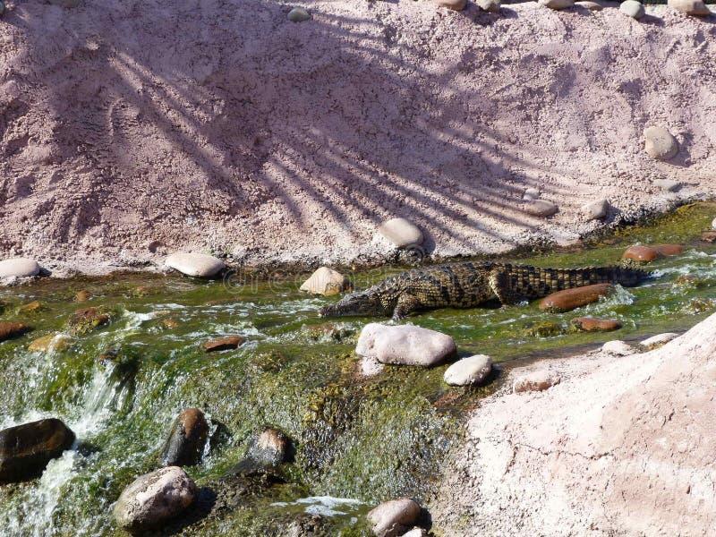 Coccodrilli del Nilo fotografia stock libera da diritti