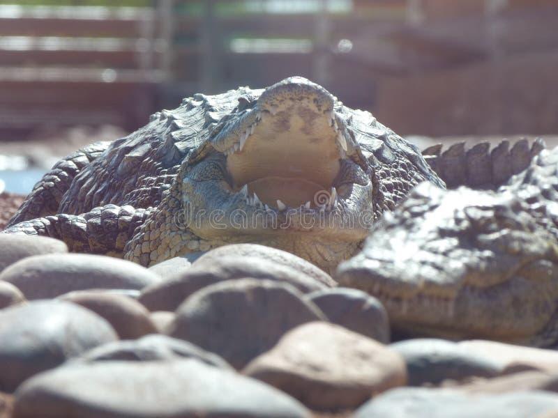 Coccodrilli del Nilo immagine stock
