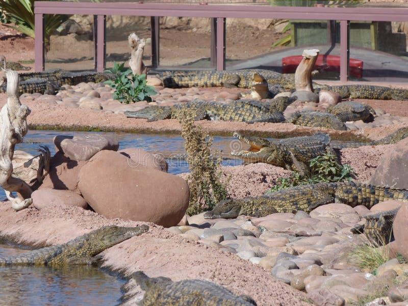 Coccodrilli del Nilo fotografie stock