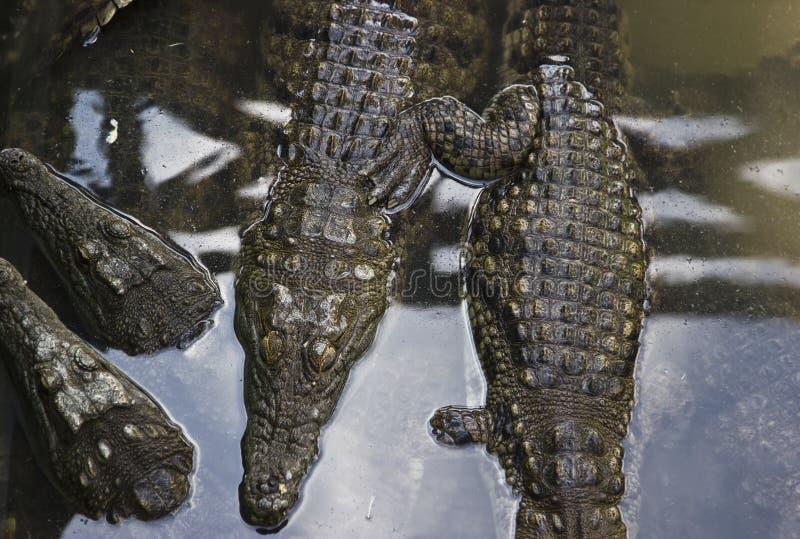 coccodrillo fotografia stock