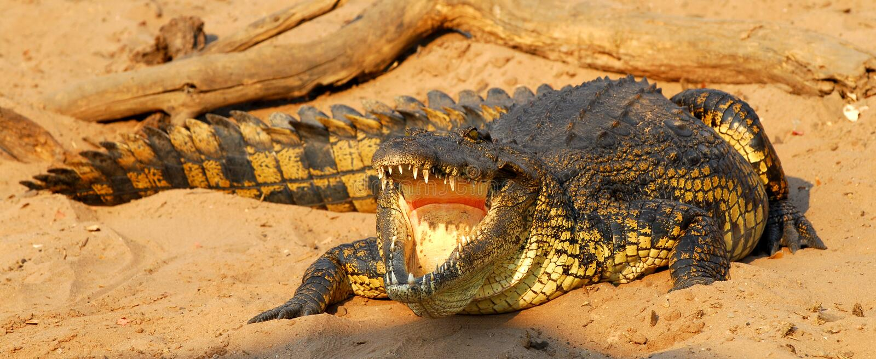 Coccodrillo africano immagine stock libera da diritti