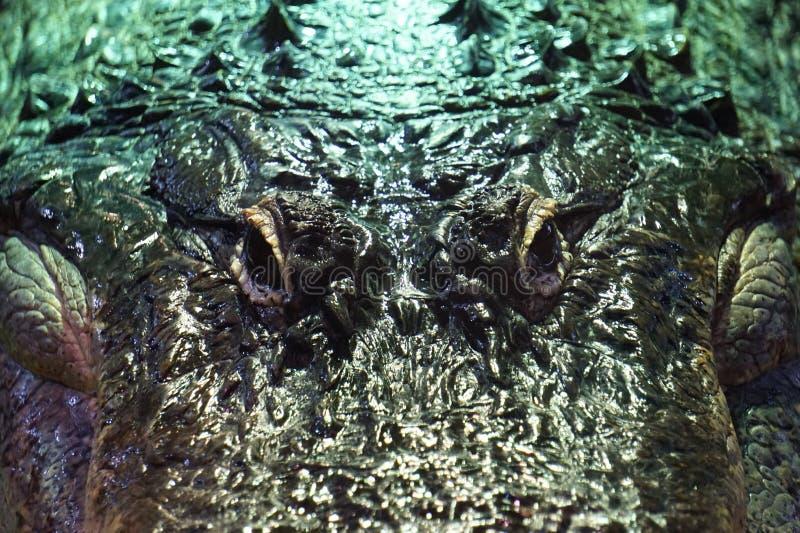 Coccodrillo, alligatore - fotografia del primo piano immagini stock libere da diritti
