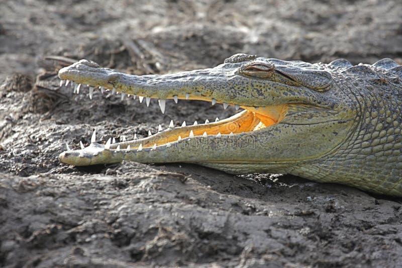 Coccodrillo americano (crocodylus acutus) che prende il sole al sole immagine stock libera da diritti