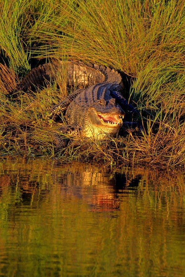 Coccodrillo americano, mississippiensis del coccodrillo fotografia stock