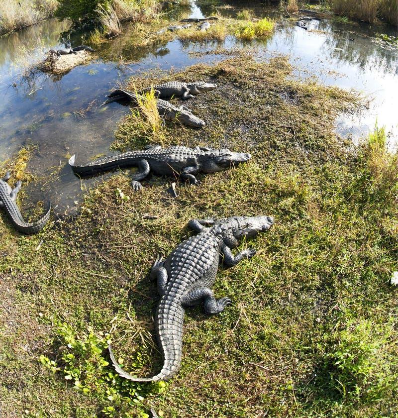 Coccodrillo americano (mississippiensis del coccodrillo) fotografie stock libere da diritti