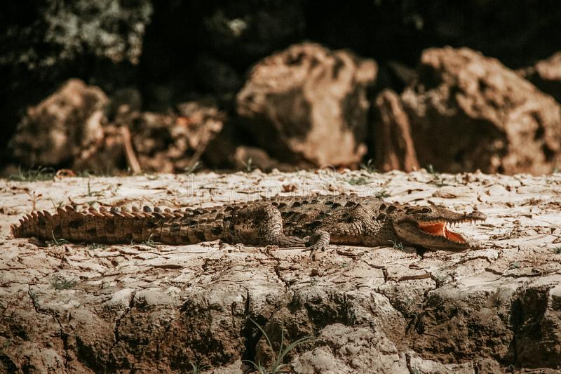 Coccodrillo in Cañon del Sumidero il Chiapas Messico, animali messicani fotografia stock