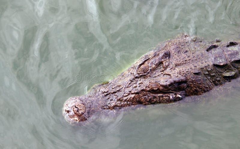 Coccodrillo che galleggia sul fiume fotografia stock libera da diritti