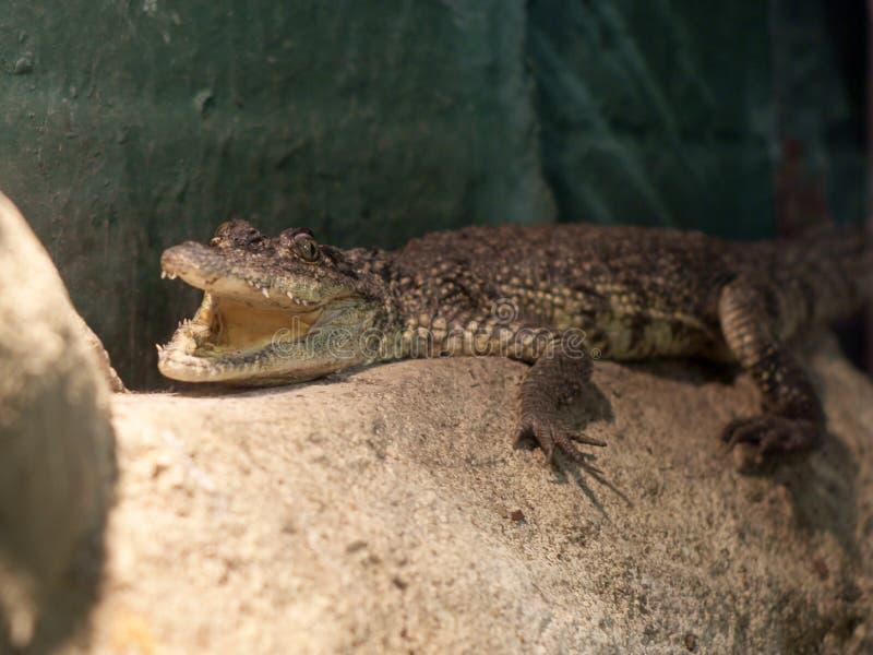 Coccodrillo del Morelet (Crocodylus Moreletii) fotografie stock libere da diritti