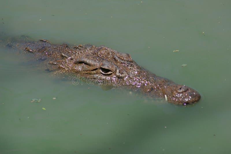 Coccodrillo del Nilo fotografie stock libere da diritti
