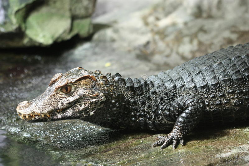 Coccodrillo del Nilo fotografie stock