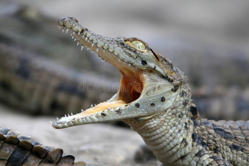 Coccodrillo del Nilo del bambino fotografia stock libera da diritti