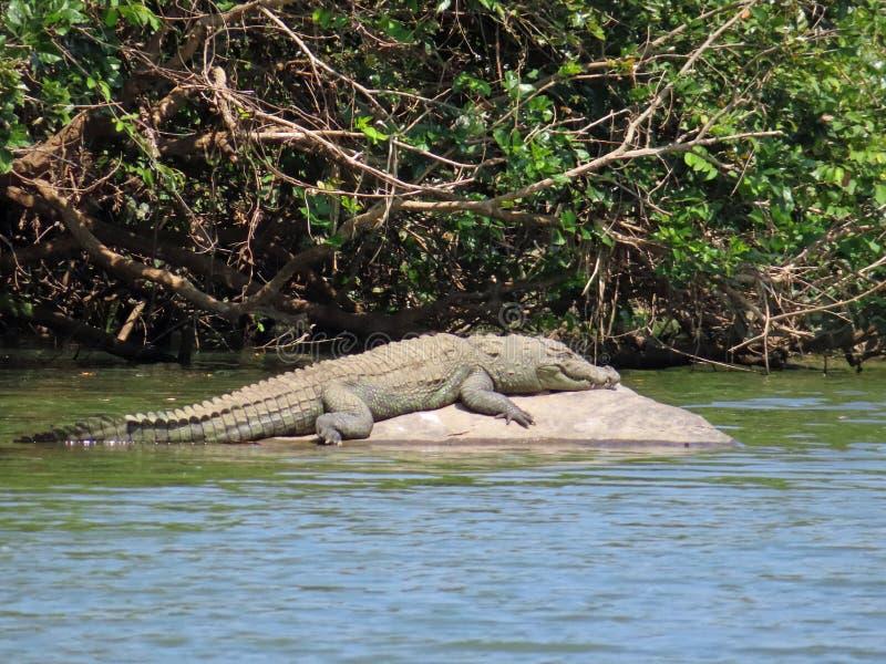 Coccodrillo del coccodrillo palustre che ozia al sole fotografie stock