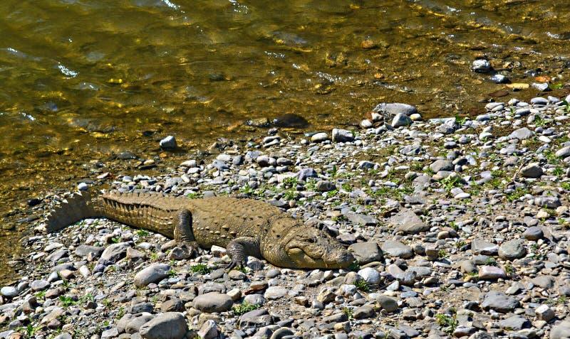 Coccodrillo del coccodrillo palustre - crocodylus palustris fotografie stock