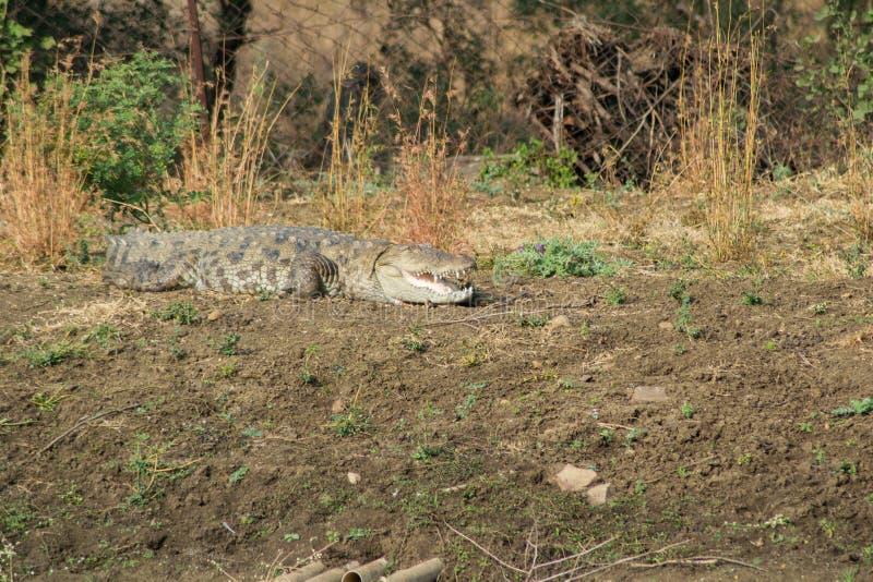 Coccodrillo del coccodrillo palustre o della palude immagine stock