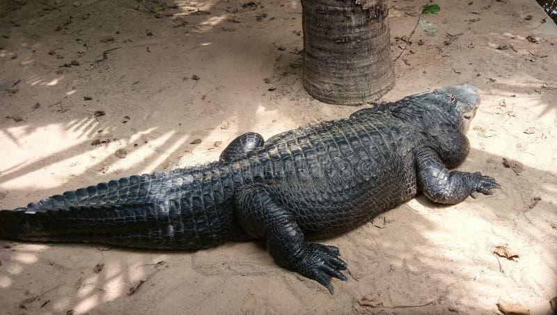 Coccodrillo dell'Africa atterrato sulla spiaggia del fiume immagini stock