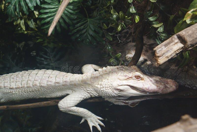 Coccodrillo dell'albino fotografia stock libera da diritti