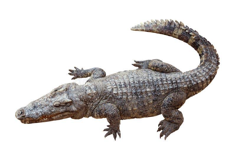 Coccodrillo della fauna selvatica isolato su bianco fotografie stock libere da diritti