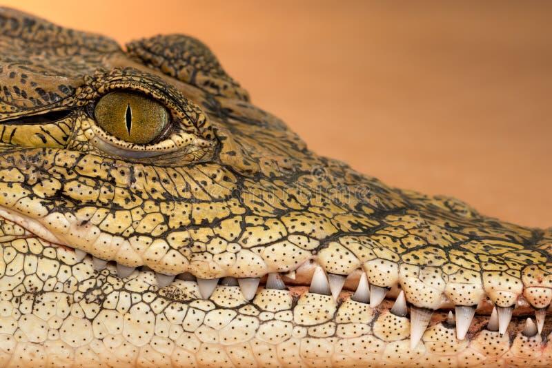 Coccodrillo di Nilo immagini stock libere da diritti